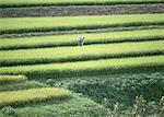 Rice fields Stock Photo - Premium Royalty-Free, Artist: Masterfile, Code: 670-02113164