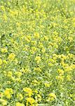 Mustard field Stock Photo - Premium Royalty-Freenull, Code: 670-02117469