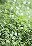White clover Stock Photo - Premium Royalty-Free, Artist: Minden Pictures, Code: 670-02120117