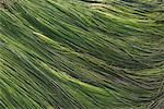 Close-up of Sea Grass    Stock Photo - Premium Rights-Managed, Artist: Lalove Benedict, Code: 700-02121090