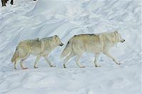 Arctic Wolves, Parc Omega, Montebello, Quebec, Canada    Stock Photo - Premium Royalty-Freenull, Code: 600-02121157