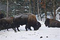 Bison Foraging in Snow, Parc Omega, Montebello, Quebec, Canada    Stock Photo - Premium Royalty-Freenull, Code: 600-02121158