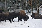 Bison Foraging in Snow, Parc Omega, Montebello, Quebec, Canada