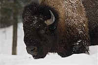 Bison in Winter, Parc Omega, Montebello, Quebec, Canada    Stock Photo - Premium Royalty-Freenull, Code: 600-02121159