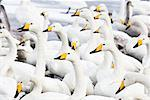 Whooper Swans, Lake Kussharo, Kushiro Region, Akan National Park, Hokkaido, Japan    Stock Photo - Premium Rights-Managed, Artist: F. Lukasseck, Code: 700-02130338