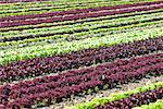 Rows of Lettuce Salzburg Land, Austria    Stock Photo - Premium Rights-Managed, Artist: Bryan Reinhart, Code: 700-02130774