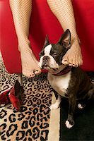 stocking feet - Woman rubbing Boston Terrier with feet Stock Photo - Premium Royalty-Freenull, Code: 673-02139283