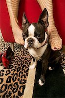 stocking feet - Woman rubbing Boston Terrier with feet Stock Photo - Premium Royalty-Freenull, Code: 673-02139284