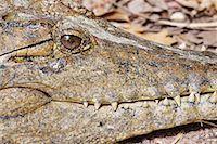 Close-Up of Freshwater Crocodile, Northern Territory, Australia Stock Photo - Premium Royalty-Freenull, Code: 600-02176556