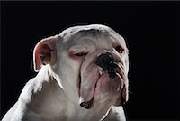 Portrait of English Bulldog    Stock Photo - Premium Rights-Managednull, Code: 700-02194135