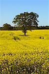 Oak Tree in Canola Field, Lutjenburg, Plon, Schleswig-Holstein, Germany    Stock Photo - Premium Rights-Managed, Artist: Moritz Schönberg, Code: 700-02216139