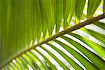Closeup of Palm Leaf    Stock Photo - Premium Royalty-Free, Artist: Ty Milford, Code: 600-02245348