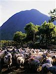 Sheep    Stock Photo - Premium Rights-Managed, Artist: IIC, Code: 832-02253931