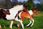 Horses, Piebald Mare And Foal    Stock Photo - Premium Rights-Managed, Artist: IIC, Code: 832-02254105