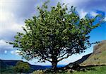 Trees - Hawthorn, Ballintoy Co Antrim    Stock Photo - Premium Rights-Managed, Artist: IIC, Code: 832-02254366