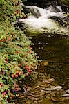 County Kerry, Ireland; Fuchsia bush beside stream    Stock Photo - Premium Rights-Managed, Artist: IIC, Code: 832-02255582