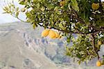Lemon tree on island of salina Stock Photo - Premium Royalty-Free, Artist: Hiep Vu, Code: 614-02259130