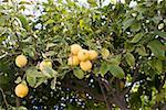 Lemon tree Stock Photo - Premium Royalty-Free, Artist: Photocuisine, Code: 614-02259131