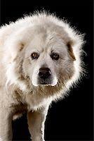 Anatolian Shepherd Dog,Portrait Stock Photo - Premium Royalty-Freenull, Code: 653-02260809