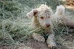 A Spanish Water Dog lying down, covered in grass Stock Photo - Premium Royalty-Free, Artist: Cusp and Flirt, Code: 653-02260821