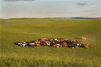 Horseman With Herd of Horses, Inner Mongolia, China    Stock Photo - Premium Rights-Managednull, Code: 700-02265735
