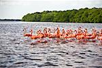 Flock of Ria De Celestun birds in water, Yucatan, Mexico Stock Photo - Premium Royalty-Free, Artist: Glowimages               , Code: 625-02268110