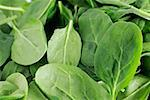 Spinach Stock Photo - Premium Royalty-Free, Artist: Zoran Milich, Code: 621-02279812
