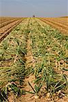 Furrows in Field of Onions, Netherlands    Stock Photo - Premium Rights-Managed, Artist: Lothar Wels, Code: 700-02288982