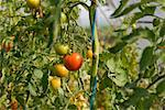 Close-up of Tomato Plants    Stock Photo - Premium Rights-Managed, Artist: Lothar Wels, Code: 700-02289107