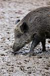 Portrait of Wild Boar    Stock Photo - Premium Rights-Managed, Artist: Holger Ehlers, Code: 700-02289155