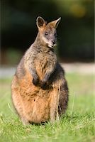Portrait of Red-necked Wallaby    Stock Photo - Premium Rights-Managednull, Code: 700-02289341