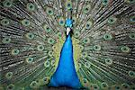 Portrait of Peacock, Skansen, Djurgarden, Stockholm, Sweden    Stock Photo - Premium Rights-Managed, Artist: Siephoto, Code: 700-02289482