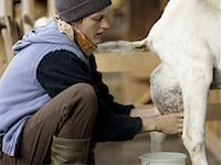 Milking A Goat Traditionally    Stock Photo - Premium Rights-Managednull, Code: 824-02293503