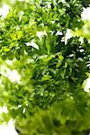 parsley    Stock Photo - Premium Rights-Managed, Artist: foodanddrinkphotos, Code: 824-02294244