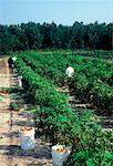 Tomatoes being harvested in field , West Virginia , USA    Stock Photo - Premium Rights-Managed, Artist: foodanddrinkphotos, Code: 824-02296061