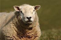 ram (animal) - Head and shouldersTexel ram    Stock Photo - Premium Rights-Managednull, Code: 824-02296095