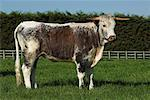 Longhorn heifer    Stock Photo - Premium Rights-Managed, Artist: foodanddrinkphotos, Code: 824-02296135