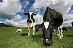 Dairy cattle in fields , early summer, Cumbria    Stock Photo - Premium Rights-Managed, Artist: foodanddrinkphotos, Code: 824-02296160