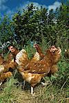 Free Range hens feeding in woodland    Stock Photo - Premium Rights-Managed, Artist: foodanddrinkphotos, Code: 824-02296258