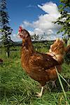 Free Range hens feeding in woodland    Stock Photo - Premium Rights-Managed, Artist: foodanddrinkphotos, Code: 824-02296264