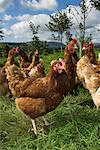 Free Range hens feeding in woodland    Stock Photo - Premium Rights-Managed, Artist: foodanddrinkphotos, Code: 824-02296265