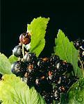 blackcurrants    Stock Photo - Premium Rights-Managed, Artist: Photocuisine, Code: 825-02303410