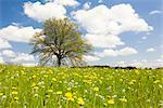 Oak Tree in Field of Dandelions, Bavaria, Germany Stock Photo - Premium Rights-Managed, Artist: F. Lukasseck, Code: 700-02346037