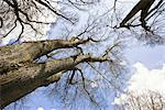 Looking Up at Lime Trees, Marktoberdorf, Ostallgau, Bavaria, Germany    Stock Photo - Premium Rights-Managed, Artist: F. Lukasseck, Code: 700-02346043