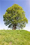 Lime Tree on Top of Hill, Bavaria, Germany    Stock Photo - Premium Rights-Managed, Artist: F. Lukasseck, Code: 700-02346075