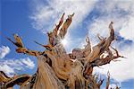 Trunk of Dead Bristle cone Pine Tree, Inyo National Forest, White Mountains, California, USA    Stock Photo - Premium Rights-Managed, Artist: Martin Ruegner, Code: 700-02347906