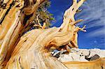 Dead Bristle cone Pine Tree, Inyo National Forest, White Mountains, California, USA    Stock Photo - Premium Rights-Managed, Artist: Martin Ruegner, Code: 700-02347908