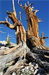 Trunk of Dead Bristle cone Pine Tree, Inyo National Forest, White Mountains, California, USA    Stock Photo - Premium Rights-Managed, Artist: Martin Ruegner, Code: 700-02347910