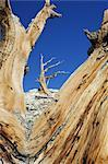 Dead Bristle cone Pine Trees, Inyo National Forest, White Mountians, California, USA    Stock Photo - Premium Rights-Managed, Artist: Martin Ruegner, Code: 700-02347911