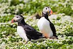 Two Puffins, Grimsey, Iceland
